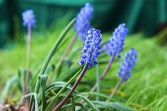 pojęcia kwiatu hiacyntowy romantyczny wiosna lato Fotografia Stock