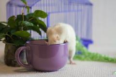 Poj?cie kucharstwo Szczur w fili?ance zdjęcia stock