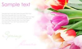pojęcie kwitnie pocztówkowego tulipanu Obrazy Royalty Free