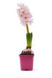 pojęcia kwiatu hiacyntowy romantyczny wiosna lato Zdjęcia Stock