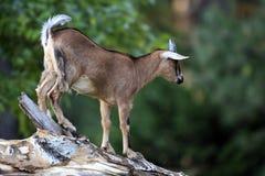 Pojedyncza Afrykańska Pigmejowa kózka w zoologicznym ogródzie Fotografia Stock