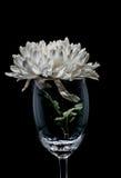 Pojedyncza biała chryzantema w szkle Obrazy Royalty Free