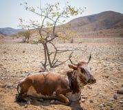 Pojedyncza brown i biała krowa z ampułą uzbrajać w rogi kłaść pod drzewem w skalistym Damaraland, Namibia, afryka poludniowa Fotografia Stock