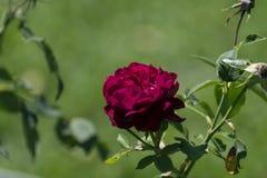 Pojedyncza ciemna ciemnopąsowej czerwieni róża w pełnym kwiacie Obrazy Royalty Free