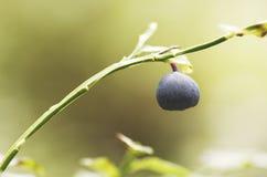 Pojedyncza czarna jagoda w lesie Fotografia Royalty Free