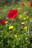 Pojedyncza czerwień Fotografia Royalty Free