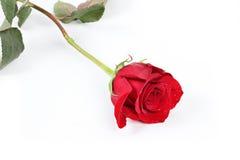 pojedyncza czerwieni róża Zdjęcie Royalty Free