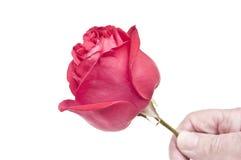 pojedyncza czerwieni róża obraz stock