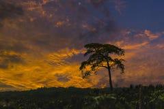 Pojedyncza duża drzewna sylwetka w zmierzchu zdjęcia stock