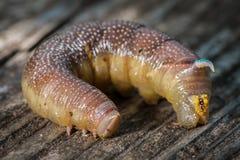 Pojedyncza gąsienica wapna hawkmoth Obrazy Royalty Free
