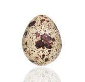 pojedyncza jajeczna przepiórka Obraz Stock