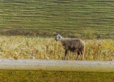 Pojedyncza kózka w gospodarstwie rolnym zdjęcia stock