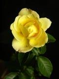 Pojedyncza kolor żółty róża w czarnym tle Obrazy Stock
