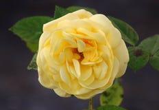 Pojedyncza kolor żółty róża w pełnym kwiacie zdjęcia stock