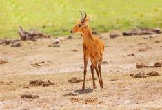 Pojedyncza męska oribi pozycja w Kenijskiej sawannie Fotografia Royalty Free