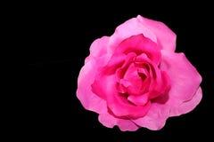 Pojedyncza menchii róża Na czerni Fotografia Stock