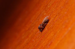 Pojedyncza mrówka z skrzydłami, Formica ekstremum zakończenie up z wysokim powiekszaniem, ten mrówka jest często zarazą w domach, Fotografia Royalty Free