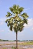 Pojedyncza palma obraz stock