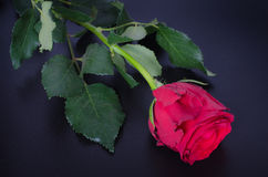 Pojedyncza piękna czerwieni róża na czerni Zdjęcia Stock