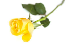 Kolor żółty róża Fotografia Royalty Free