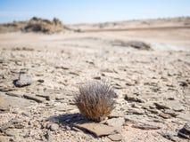 Pojedyncza pustynia adaptował rośliny dorośnięcie w Namib pustyni przy Namib-Naukluft parkiem narodowym, Namibia, Afryka Fotografia Stock