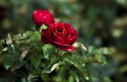 Pojedyncza rewolucjonistki róża dla walentynki ` s dnia Fotografia Royalty Free