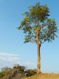 Pojedyncza sosna na wzgórzu z niebieskiego nieba tłem obraz royalty free