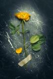 Pojedyncza trzonu koloru żółtego róża Fotografia Royalty Free