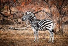 Pojedyncza zebra otaczająca dogrzewającymi drzewami Kruger obywatel Obrazy Royalty Free