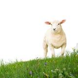 pojedyncze owce Zdjęcie Royalty Free