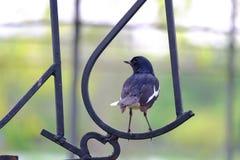 Pojedynczego orientalnego sroka rudzika ptasi obsiadanie na wyginającym się metalu przy parkiem w mieście obrazy royalty free