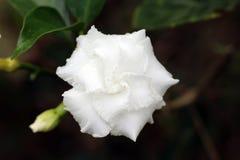 Pojedynczej Białej Dzikiej róży Zamazany tło Zdjęcia Stock