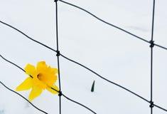 Pojedynczej wiosny żółty daffodil w śniegu z pudełkowatym drucianym ogrodzeniem Fotografia Stock