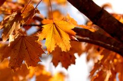 Pojedynczo Nasłoneczneni Pomarańczowi Klonowi jesień liście na gałąź zdjęcie stock