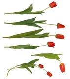 pojedynczo odosobneni tulipany obraz stock