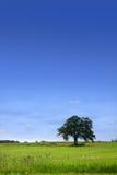pojedynczy łąki drzewo Fotografia Royalty Free