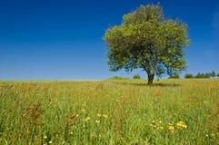 pojedynczy łąki drzewo Obrazy Royalty Free