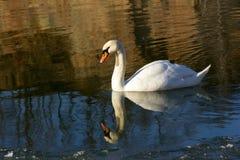 pojedynczy łabędzi biel Fotografia Royalty Free