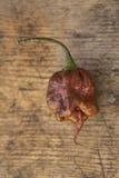 Pojedynczy świeży brown Trinidad skorpionu chili pieprz Obrazy Stock
