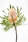 Pojedynczy żółty banksia kwiat fotografia stock