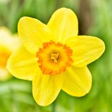 Pojedynczy żółty daffodil kwiat w parku Zdjęcia Royalty Free