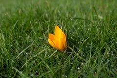 Pojedynczy żółty krokus w trawie z wodnymi kroplami obraz royalty free