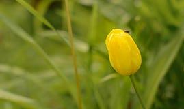 Pojedynczy żółty tulipan na tle trawa Zdjęcie Stock