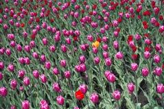 Pojedynczy żółty tulipanowy kwiat, menchie i czerwień ones obraz stock