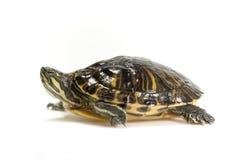 pojedynczy żółwia żółwia Obrazy Stock