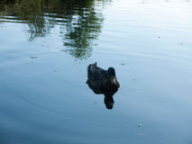 Pojedynczy żeński mallard na jeziorze obrazy royalty free
