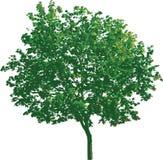 pojedynczy 11 drzewny wektora Zdjęcia Stock