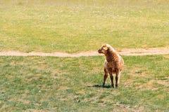 Pojedynczy baranek na patrzeć na wiosny trawie fotografia royalty free