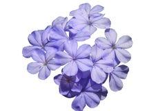 pojedynczy białe kwiaty obraz stock