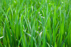 pojedynczy białe tło trawy Obraz Royalty Free